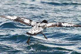 A cape petrel found on the ocean around the Antarctic Peninsula.