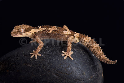 Rough thick-toed gecko (pachydactylus rugosas)  photos