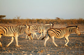 Zebras walking