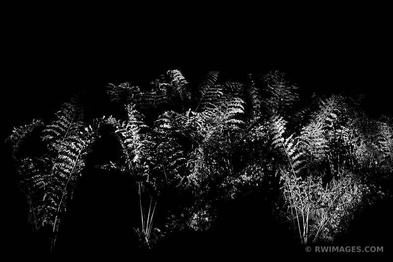 FERNS IF FOREST SUNSET LIGHT SHENANDOAH NATIONAL PARK VIRGINIA BLACK AND WHITE