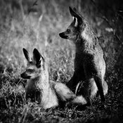 3900-Biodiv-Big_eared_fox_Laurent_Baheux