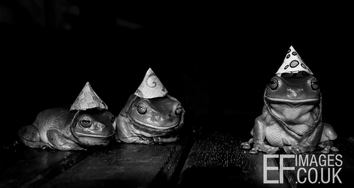 Green Tree Frogs In Hats Black And White