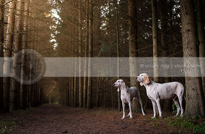 two porcelaine hounds posing together in tunnel of trees
