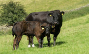 Crossbred suckler cattle with calves at foot in upland pasture, Cumbria, UK.
