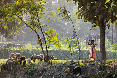 Women herd sheep in the East Kolkata Wetlands, Kolkata, India.