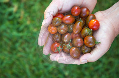 homegrown just picked cherry tomatoes, shown right side, held in the hand against grass