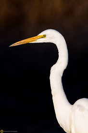 Great Egret #11