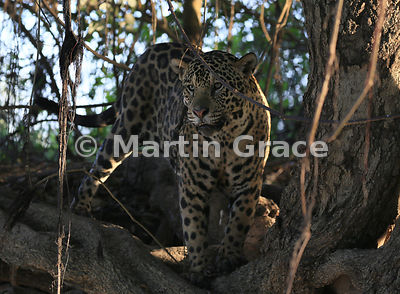 Male Jaguar (Panthera onca) known as Marley conceals himself in the shade at the top of the riverbank, River Cuiabá, Northern Pantanal, Mato Grosso, Brazil