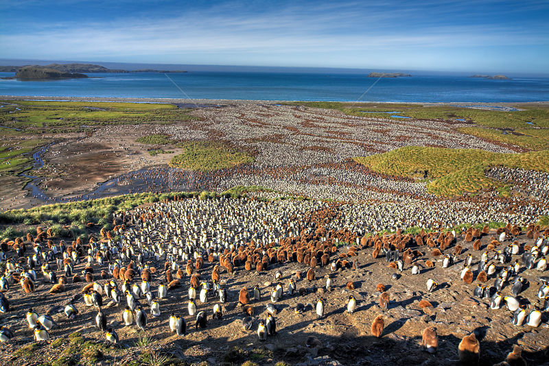 Aerial view of huge colony of King Penguin (Aptenodytes patagonicus) white birds are adults, brown birds are chicks, Salisbury Plain, South Georgia