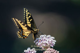 Anise Swallowtail Butterfly, Alviso, CA, USA (Published in Nature Photographer Magazine, Summer 2014)
