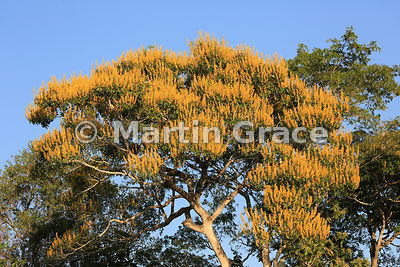 Spectacular yellow blossom of Vochysia divergens tree in golden early morning sunlight, River Cuiabá, Northern Pantanal, Mato Grosso, Brazil