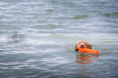 nova scotia duck toller dog swimming fetching training toy in lake