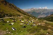 Herd of dairy cattle grazing in high pastures in the Italian Alps above Susa