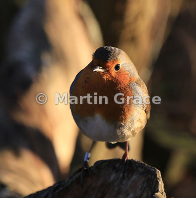 European Robin (Erithacus rubecula) sidelit by late afternoon sun, Leighton Moss (RSPB), England