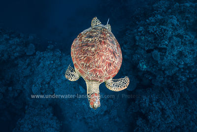Green turtle on blue water