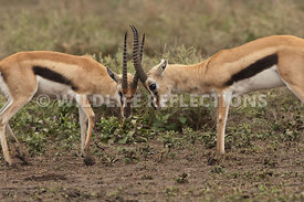 thomsons_gazelle_battle_44