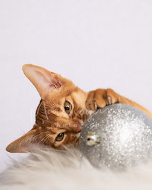Close-up of Abyssinian Kitten Looking at Silver Christmas Ornament  with Paw on Top