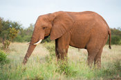 Elephant, Loxodonta africana, Kruger National Park, South Africa