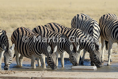 Plains Zebra (Equus burchellii) drinking at the man-made Andoni Waterhole, Etosha National Park, Namibia