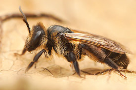 Andrena florea female