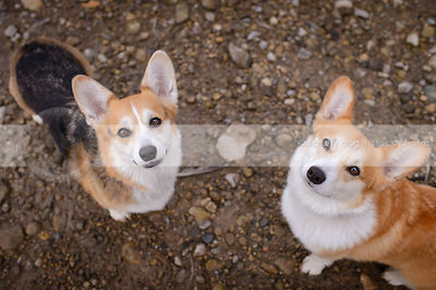 two short corgi dogs staring up from sand and stones
