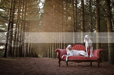 two large white hounds lounging on antique settee in pine forest