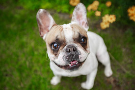 Brown and White French Bulldog Looking Up