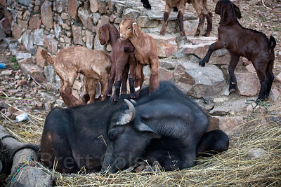 Goats play on top of resting cows in the rural village of Kharekhari, Rajasthan, India