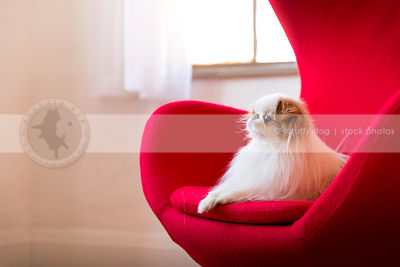 portrait of cute japanese chin dog on egg chair indoors