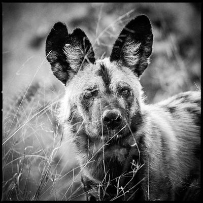 1134-Wild_dog_in_the_grass_Bostwana_2009_Laurent_Baheux