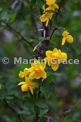 Berberis darwinii (known as Michay or Calafate), Parque Nacional Vicente Perez Rosales, Los Lagos, Chile