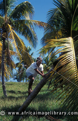 Boy climbing in a palm tree, Ile aux Cocos, Rodrigues