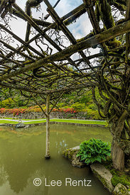 Wisteria and Vines in April in Seattle's Japanese Garden