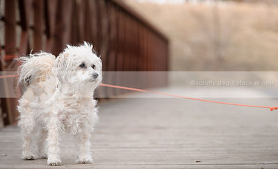 white groomed dog standing on bridge with minimal background