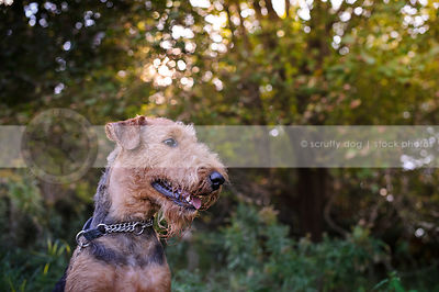 portrait of groomed black and tan dog in meadow with trees