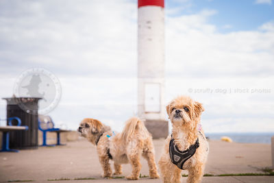 two little dogs wearing harness standing on pier with lighthouse
