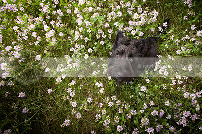 black scottish terrier dog looking upward from flowers