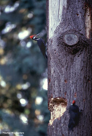 January and February - Pileated Woodpeckers