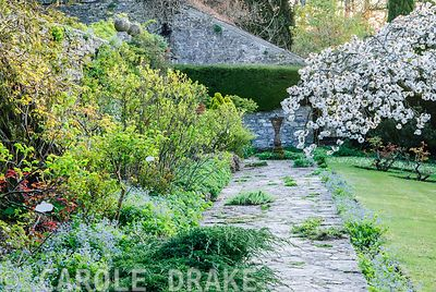 The sundial terrace includes a border planted with old fashioned roses and hardy geraniums, with the spreading form of the great white cherry, Prunus 'Taihaku', at the end. Blue flowered Brunnera macrophylla self seeded all along the path. Milton Lodge, Wells, Somerset, UK