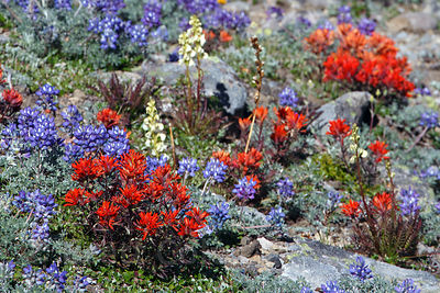 Indian Paintbrush, Mount Rainier National Park, Washington