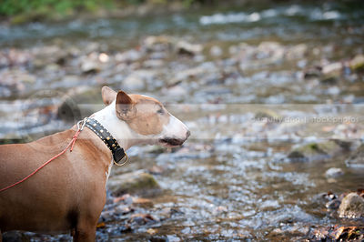 portrait of sweet bull terrier dog looking away standing near stream
