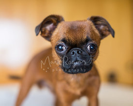 Close-up of Brussels Griffon Puppy