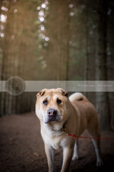 curious tan dog standing staring in pine tree forest