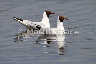 Pair of Black-Headed Gulls (Larus ridibundus, Chroicocephalus ridibundus), Leighton Moss, Lancashire, England