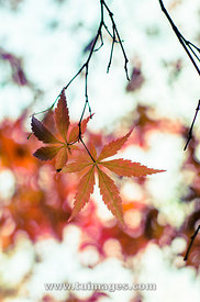 abstract maple leaf for autumn season