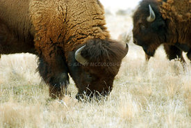 Buffalo_grazing