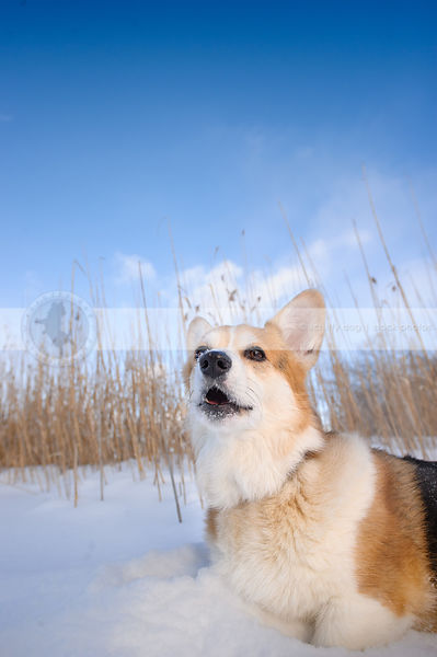 short corgi dog barking in winter snow under sky