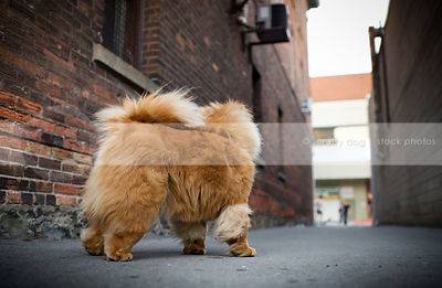 pretty red chow dog standing by brick wall in urban alley