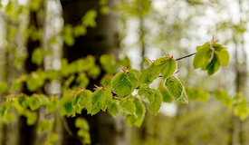 Beech tree leaves