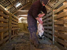Shepherd Skinning a Dead New Born Lamb
